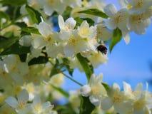 El jazmín y manosea la abeja en vuelo, primavera Imagen de archivo libre de regalías