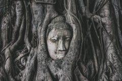 El jefe de la estatua de Buda en el árbol arraiga Imagen de archivo