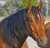 El jefe de un Stockhorse australiano imagenes de archivo