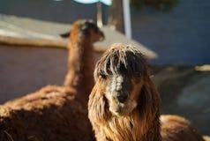 El jefe de una alpaca de Brown foto de archivo libre de regalías