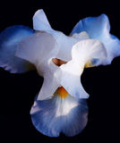 El jefe del cierre de la flor del iris para arriba Imagen de archivo libre de regalías