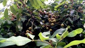 El jefe del longan fresco da fruto ejecución en el árbol almacen de metraje de vídeo