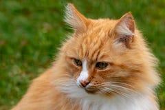 El jengibre rural y el gato adulto blanco que localizan en campo y escucha cuidadosamente fotos de archivo