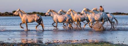 El jinete en el caballo de Camargue galopa a través del pantano Foto de archivo libre de regalías