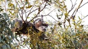 El joey de la koala cuelga sobre una pequeña rama almacen de video