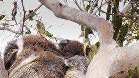 El joey de la koala rasguña su cabeza almacen de video