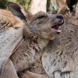 El joey del canguro bosteza mientras que teniendo un resto en la bolsa de su madre Fotos de archivo