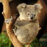 El joey del Koala se está sentando en una ramificación Foto de archivo libre de regalías