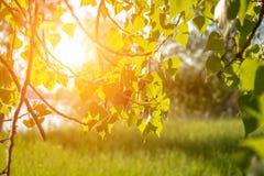 El joven de la primavera del abedul se va en los rayos del sol contra prado del verano Imagen de archivo libre de regalías