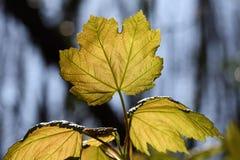 El joven del pseudoplatanus de Acer (arce del sicómoro) se va Imagen de archivo