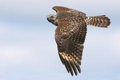 El joven Rojo-llevó a hombros el halcón Foto de archivo libre de regalías