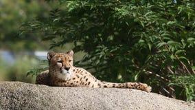 El jubatus del Acinonyx del guepardo gandulea en una roca, gato hermoso en cautiverio en el parque zoológico metrajes