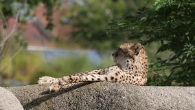 El jubatus del Acinonyx del guepardo gandulea en una roca, gato hermoso en cautiverio en el parque zoológico almacen de video