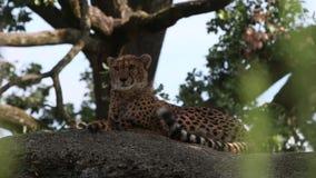 El jubatus del Acinonyx del guepardo gandulea en una roca, gato hermoso en cautiverio en el parque zoológico almacen de metraje de vídeo