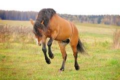 El juego del caballo de bahía libera Foto de archivo libre de regalías
