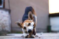 El juego del perrito en yarda con el palillo de la búsqueda, adoptó el perro que conseguía mejor y es feliz foto de archivo libre de regalías
