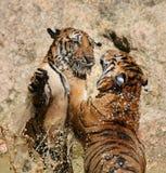 El juego los tigres grandes en el lago, Tailandia Fotografía de archivo