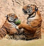 El juego los tigres grandes en el lago, Tailandia Imagen de archivo