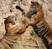 El juego los tigres grandes en el lago, Tailandia Foto de archivo