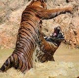 El juego los tigres grandes en el lago, Tailandia Fotos de archivo libres de regalías