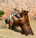 El juego los tigres grandes en el lago, Tailandia Foto de archivo libre de regalías