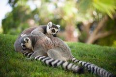 el jugar Anillo-atado de los lémures Imágenes de archivo libres de regalías