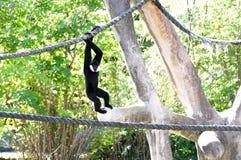 El jugar blanco-cheeked del mono de Gibbon Imágenes de archivo libres de regalías