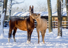 El jugar blanco y marrón del caballo Imágenes de archivo libres de regalías