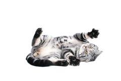 El jugar británico del gato del pelo corto imagen de archivo libre de regalías