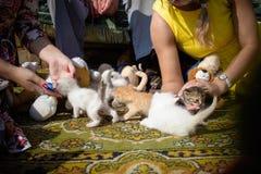 El jugar con los pequeños gatitos Imagen de archivo libre de regalías