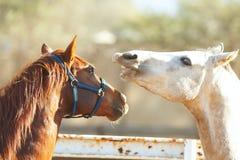 El jugar de Brown y del caballo blanco imagenes de archivo