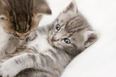 El jugar de dos bebés de los gatos Fotos de archivo