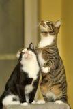 El jugar de dos gatos Foto de archivo libre de regalías