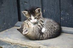 El jugar de dos gatos Imagen de archivo libre de regalías