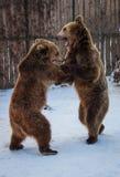 El jugar de dos osos imagenes de archivo