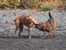 El jugar de dos perros Fotos de archivo libres de regalías