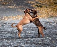 El jugar de dos perros Fotografía de archivo