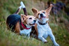 El jugar de dos perros del beagle Imágenes de archivo libres de regalías