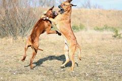El jugar de gran alcance de los perros Imagenes de archivo