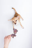 El jugar de la chihuahua, intentando alcanzar la cuerda Foto de archivo