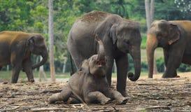 El jugar de la madre y del bebé del elefante Imágenes de archivo libres de regalías