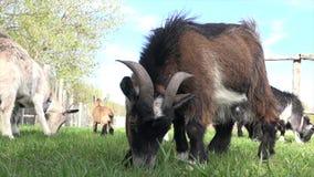El jugar de las cabras del bebé almacen de metraje de vídeo