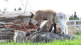 El jugar de las cabras del bebé metrajes