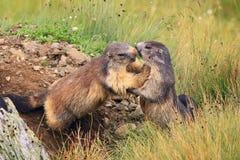 El jugar de las marmotas Foto de archivo libre de regalías