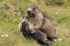 El jugar de las marmotas Imagenes de archivo