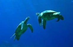 El jugar de las tortugas de mar verde imágenes de archivo libres de regalías