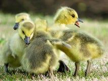 El jugar de los ansarones del ganso de Canadá del bebé Fotos de archivo libres de regalías