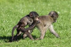 El jugar de los babuinos del bebé Fotografía de archivo