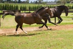 El jugar de los caballos fotos de archivo