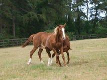 El jugar de los caballos Fotografía de archivo libre de regalías